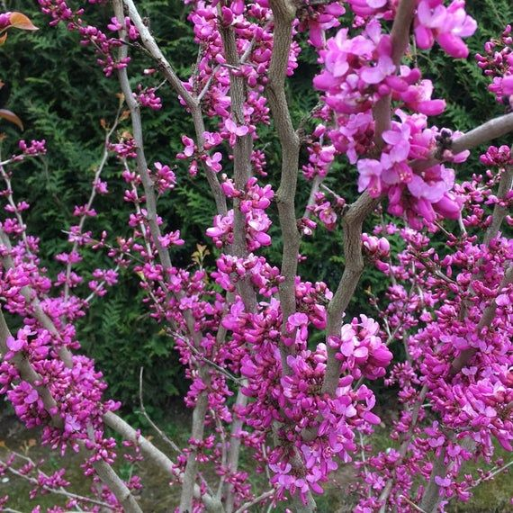 100 Chinese Redbud Seeds Cercis Chinensis Flowering Judas Tree Bonsai Usa Seller Redbud Tree Small Trees For Garden Judas Tree