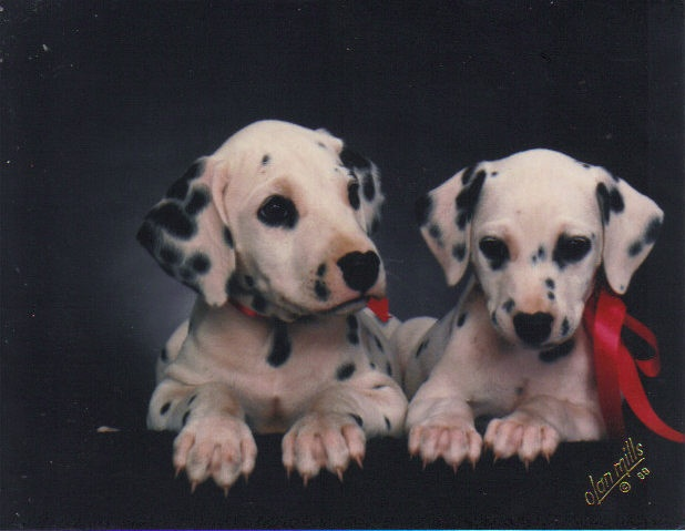 Dalmatian puppies sire Icy Spot's Santana's Song from Pacific Kennels Fred Klensch, Dame Icy Spot's Meagan's Melody