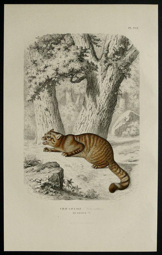 1855 Antique print of a WILDCAT by AntiquePrintsOnly
