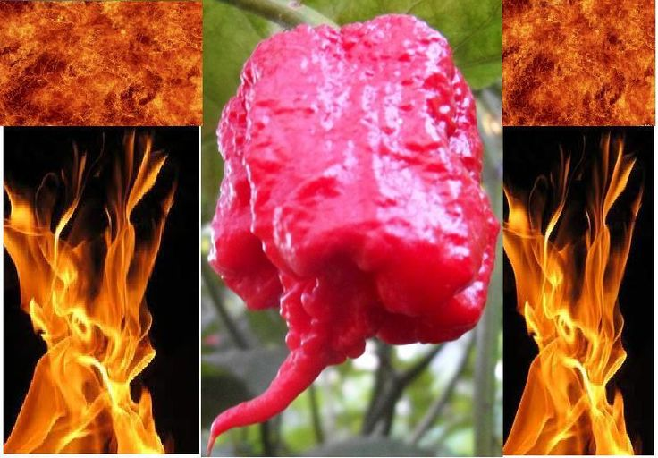 10 Carolina Reaper Seeds HP22B Hottest Pepper on Earth World Record Extreme Hot | eBay