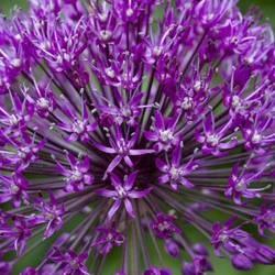 Allium aflatunense 'Purple Sensation'   80 cm   snijbloem  in de winter niet te nat.  15 stuks geplant in roze/paarse border bij pennisetum hammeln  4 geplant in de voortuin bij de pluimhortensia