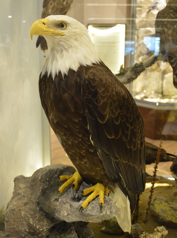 Bald eagle.  Find out more: http://meteoramuseum.gr/en/bald-eagle/