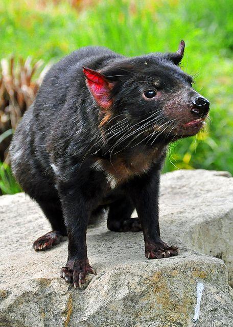 TASMANIAN DEVIL - Sarcophilus harrisii . . .