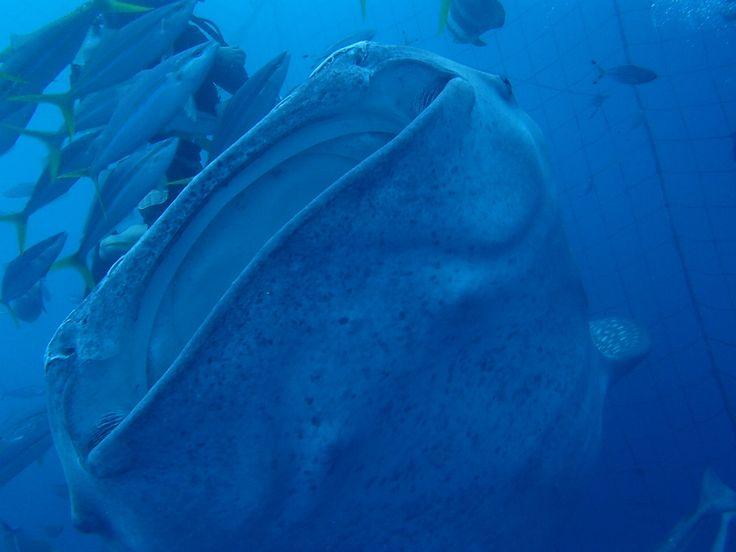ジンベエザメに逢いに韓国から! - http://www.natural-blue.net/blog/info_443.html