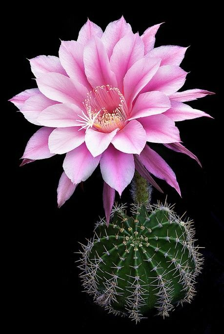 Echinopsis cactus hybrid 'Eroica', blooming. photo: Richard Reynolds.