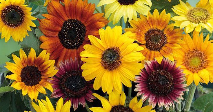 Variationsrik mix av solrosor i olika höjder och färger. Praktfulla blommor i nyanser av guldgult, brons och rött. Underbara som fristående häck eller planterade mot mur. Även magnifika i bukett.