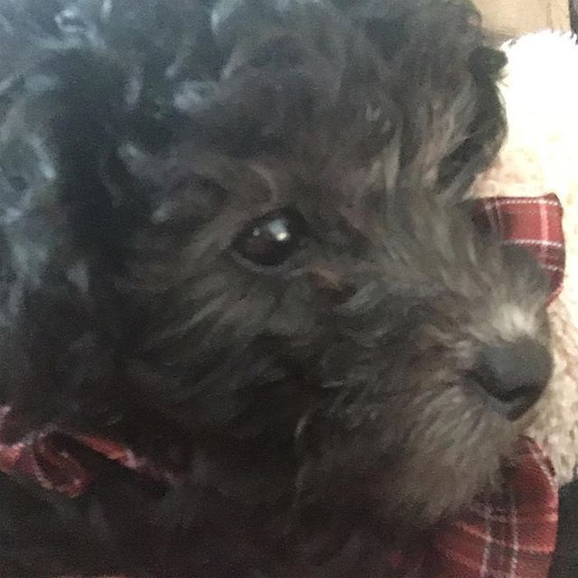我が家にきたばっかりのリコちゃん(^^) . #トイプードル #トイプードル部  #トイプードル女の子  #トイプードル多頭飼い  #トイプードル子犬  #トイプードルシルバー  #犬 #犬好き #犬好きな人と繋がりたい  #子犬 #愛犬 #ふわふわ #もこもこ #こんばんは #お正月 #あけましておめでとうございます #2017年