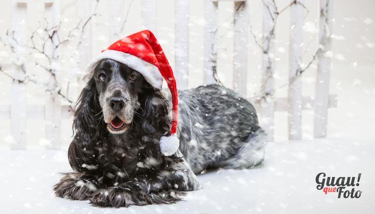 Desde Guauquefoto os proponemos una sesión de fotos navideñas de vuestra mascota o junto a ella.
