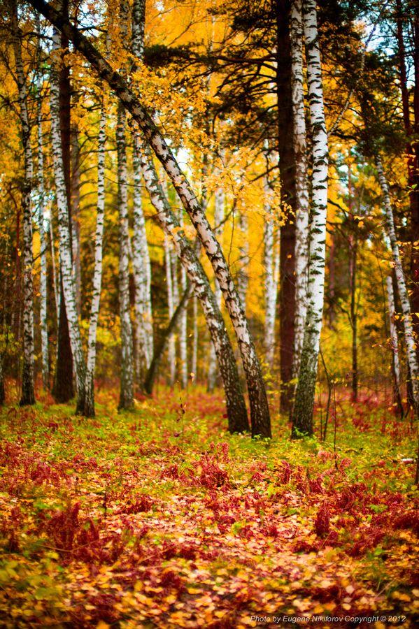 Birch forest, Novosibirsk, Russia | Fall | Pinterest ...