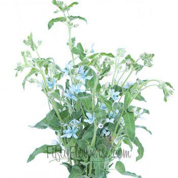 FiftyFlowers.com - Tweedia Flower Light Blue