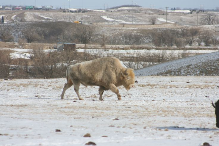 Dakota Miracle, a white bison, is seen grazing. Dakota Miracle is seven and a member of the museum's herd.
