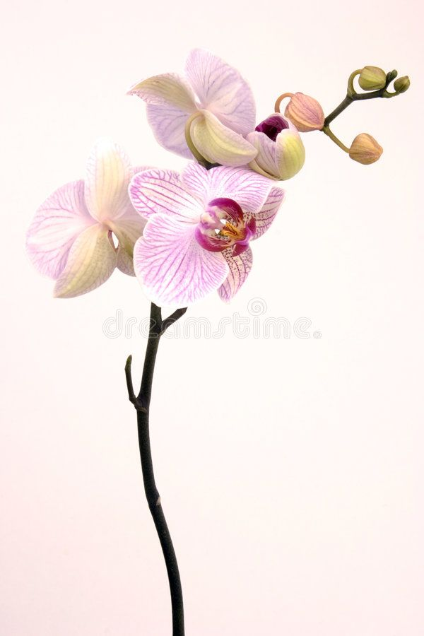 Pink Orchid A Pink Orchid Set Against A Plain Background Affiliate Pink Orchid Pink Background Plain Ad Pink Orchids Orchids Images Of Colours