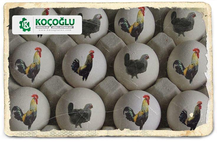 Yumurta tavuğu bakımı zor mudur nasıl yapılır? Tavukçuluğa başlayacaklar için detaylı rehber http://www.yarkaburada.com