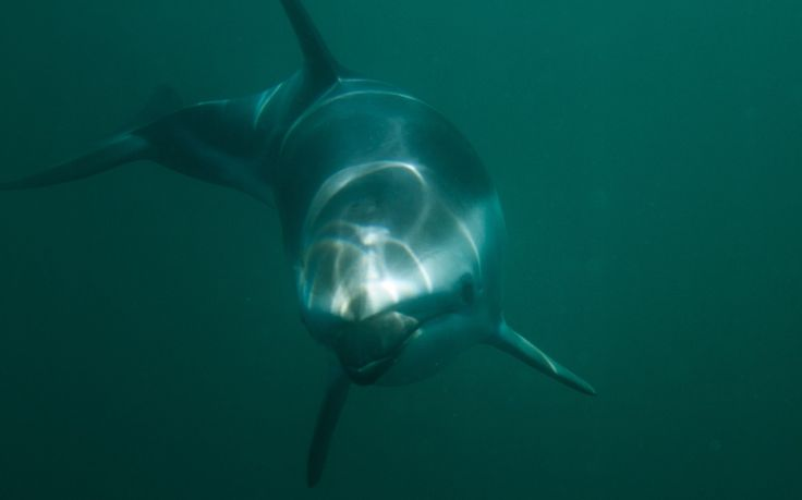 Swimming with Dusky Dolphins in Tasmania