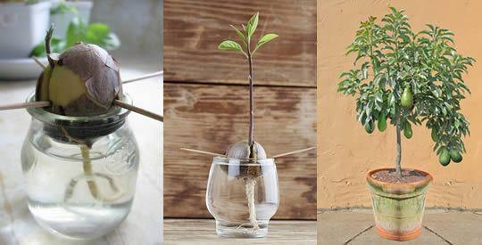 Come coltivare l'avocado a casa per averne una scorta infinita