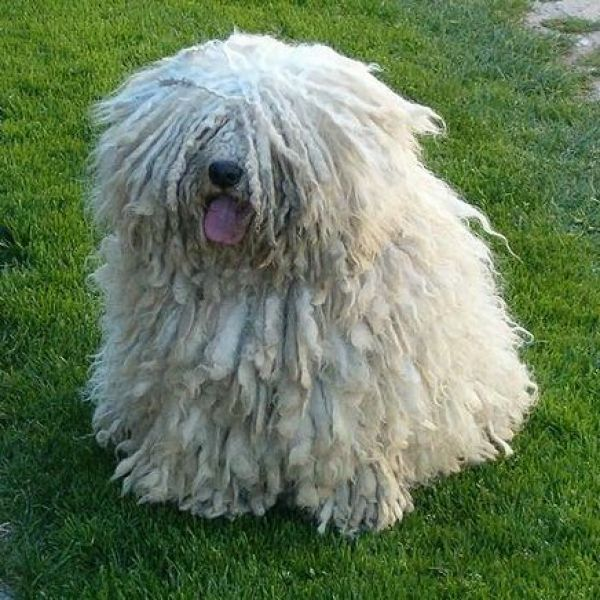 17 best Puli images on Pinterest | Doggies, Herding dogs ...