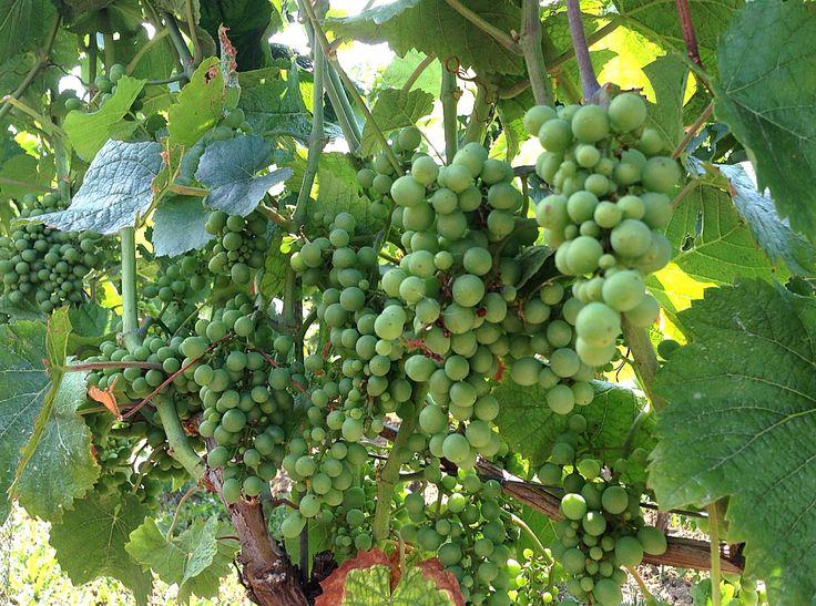 Loving the grapes:-)