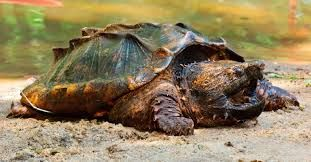 Resultado de imagen para tortuga mordedora gigante