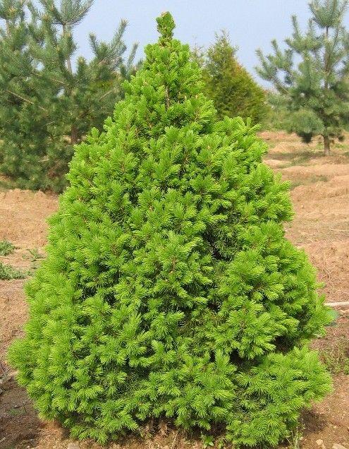 Picea picea glauca conica jardin japonais pinterest for Arbuste jardin japonais