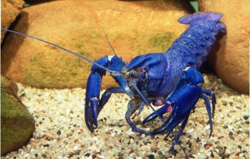 Cherax tenuimanus, lobster air tawar, budidaya lobster