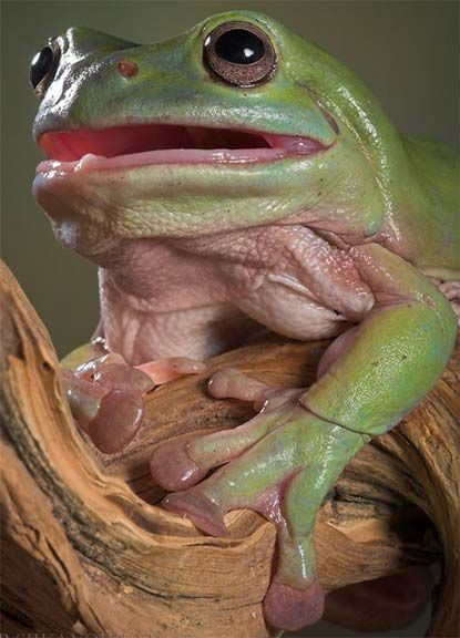 Baby Blue Dumpy Tree Frogs | Australian Green Tree Frog - The Dumpy, Calm Frog | Animal Pictures ...