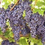 Grape Companions Grapes do very well when planted with hyssop, basil, beans, geraniums, oregano, clover, peas and blackberries. Clover increases the fertility of the soil for grapes.  Pest-Repelling Plants Some plants make good companions to grapes just because of their pest-repelling qualities. Because grapes naturally draw pests, planting garlic, chives, rosemary, tansy and mint around the borders of the vineyard is a good idea.