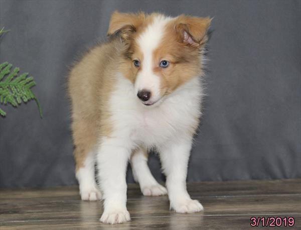 Petland Overland Park Has Shetland Sheepdog Puppies For Sale