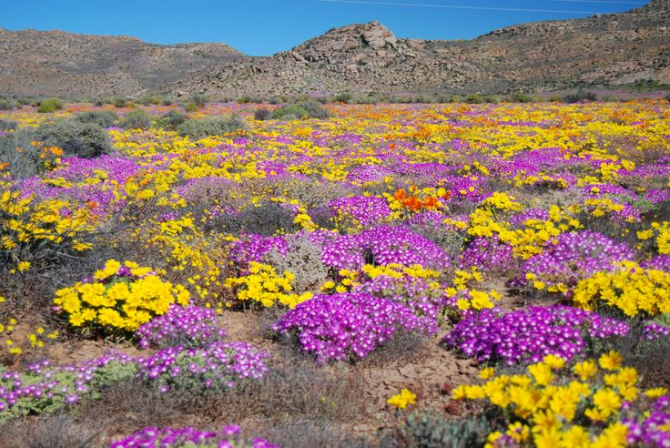 A carpet of mauve mesembryanthemums weaves an intricate carpet amidst Namaqualand daisies
