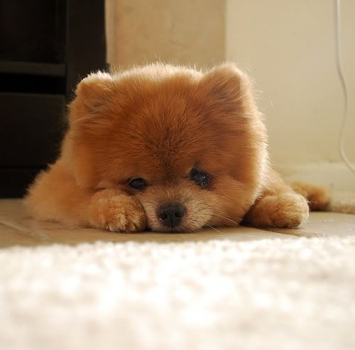 Teacup pomeranian please!!!!!!