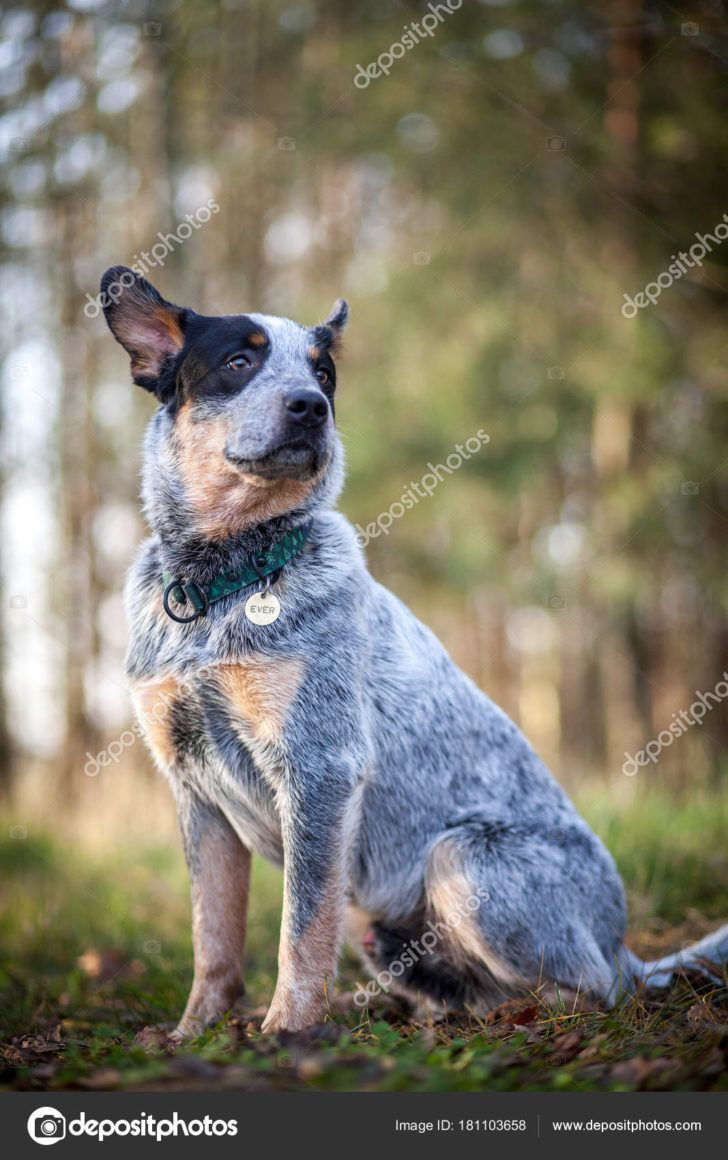 The Domestic Dog Blue Heeler Australian Cattle Dog Blue Heeler