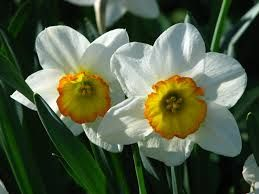 narcissus - Google Search