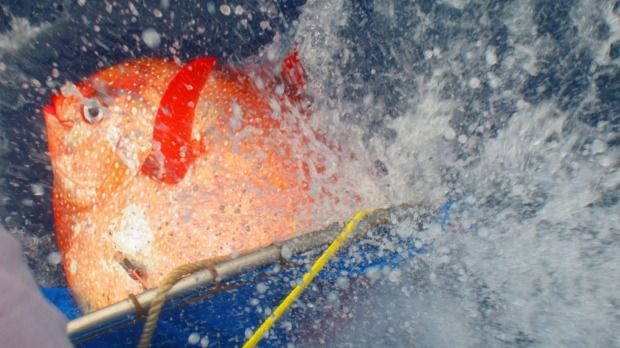First fully warm-blooded fish found in deep ocean - An opah is released with sensors to track temperatures as it dives off the California coast. The opah, which lives in the deep ocean, is the first fish known to be fully warm-blooded, circulating heated blood throughout its body, enabling it to be a vigorous predator in frigid ocean depths.