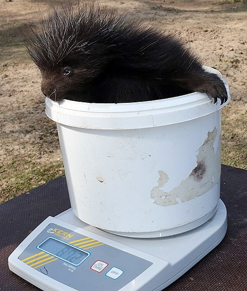 At the Magdeburger Zoo in Magdeburg, Germany, a young porcupine sits on a scale to be weighed. So cute and prickly!