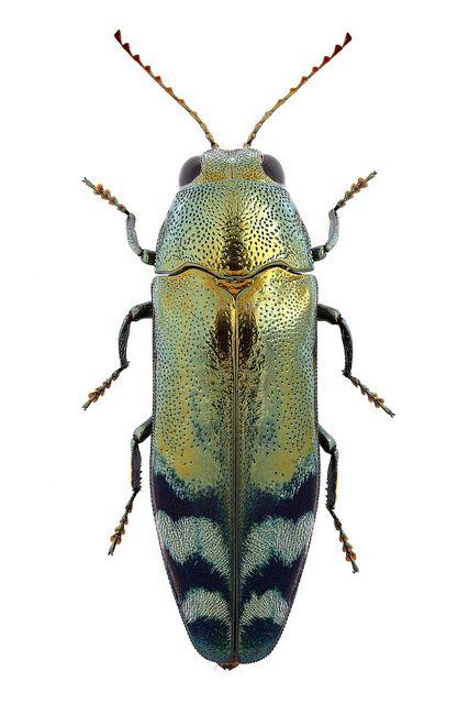The Cute One! Coraebus fasciatus