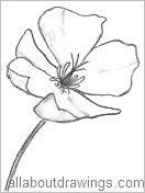 how to draw a california poppy flower