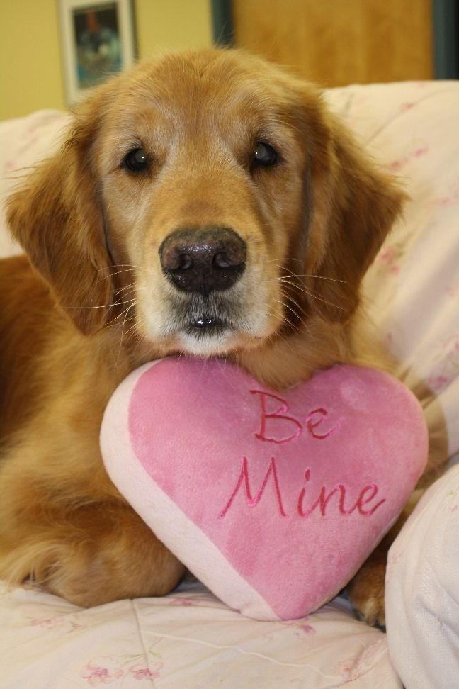 Valentine S Day At Yankee Golden Retriever Rescue With Images