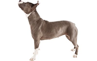 American Pit Bull Terrier information including pictures, training, behavior, and care of Pitbulls and dog breed mixes.
