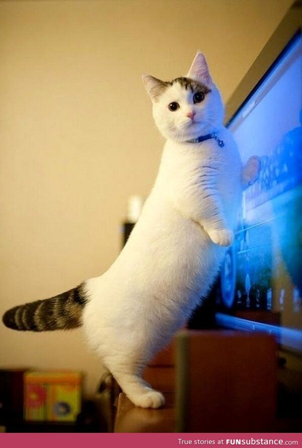 the munchkin cat. This needs to be mine.