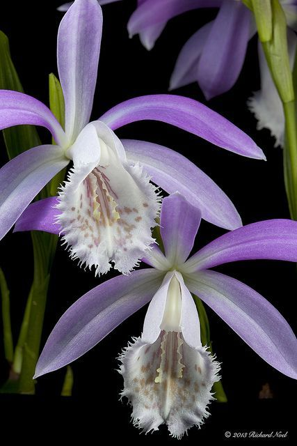 Pleione formosana or Windowsill Orchid, SE China & N/C Taiwan