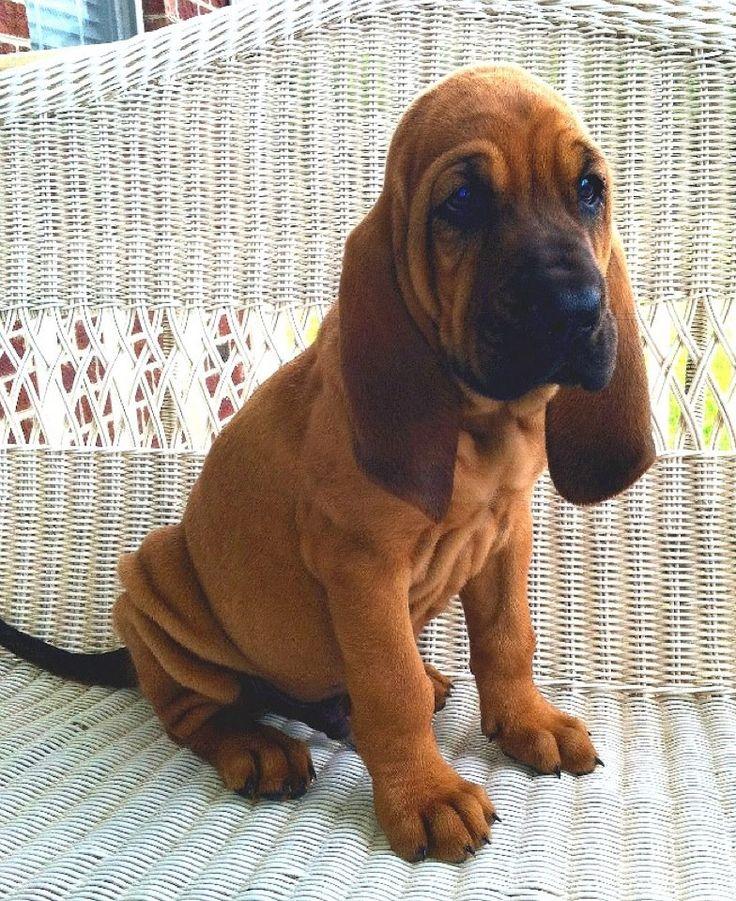 Perro de San Huberto | Puede olfatear el más mínimo rastro, aunque no es un buen perro guardián debido a su amor por la gente. Algunos llegan a ladrar mucho cuando están excitados, aunque no es una regla general.