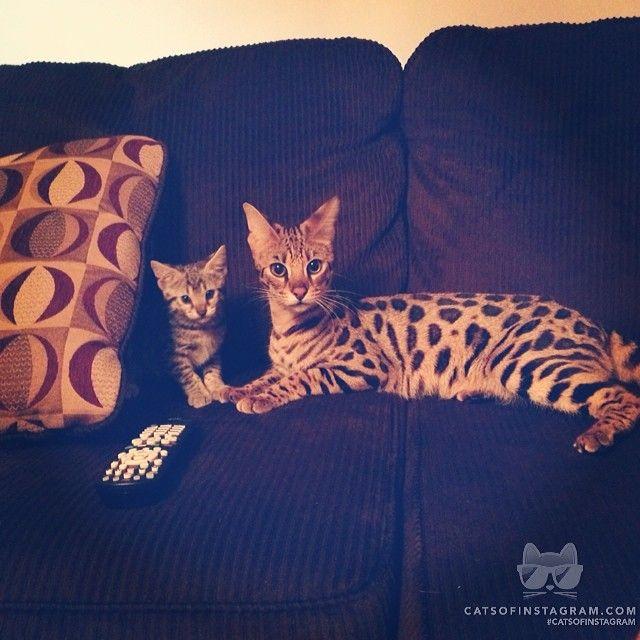 "From @SashaTheSavannah: ""Hiiii her name is Sasha, she's very shy. She's a F2 savanna kitten. This is her and her mommy Zina "" #catsofinstagram [catsofinstagram.com]"