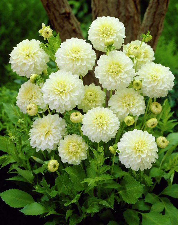 Dahlia 'Karma Serena' • Plants & Flowers • 99Roots.com