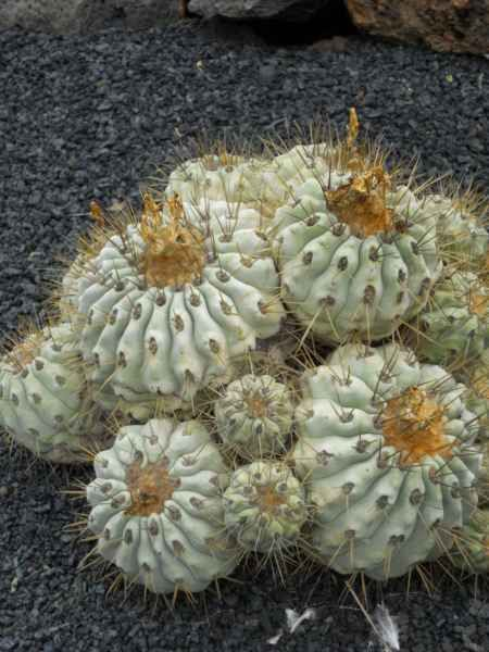 171 best images about cactus on pinterest gardens for Feroxcactus chile