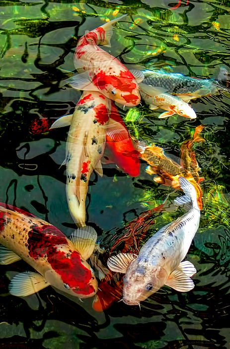 Colorful japanese koi fish by jennie marie schell art for Colourful koi fish