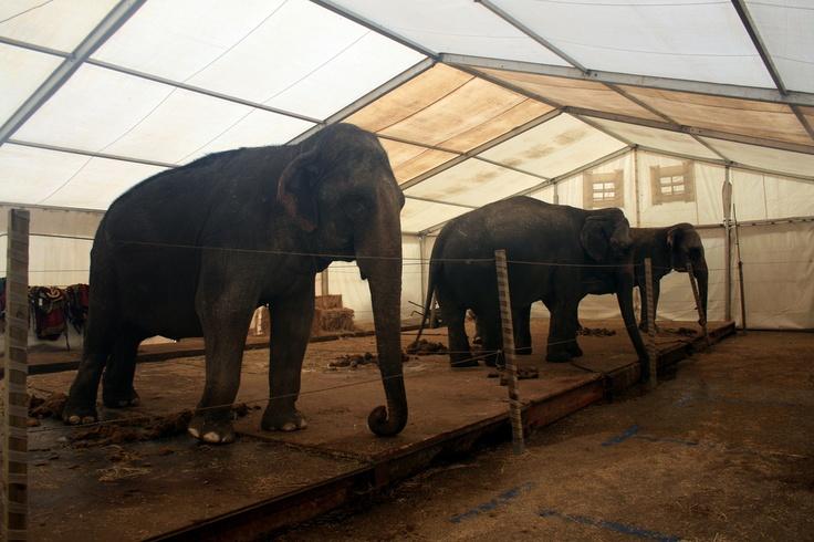 """2008, Spanien - Ein Aktivist, der fast zwei Wochen eingeschleust war, dokumentierte das Leben von Tieren im Zirkus """"CIRCO AMERICANO"""" mit Fotos und Aufnahmen von Gesprächen der Arbeiter_innen."""