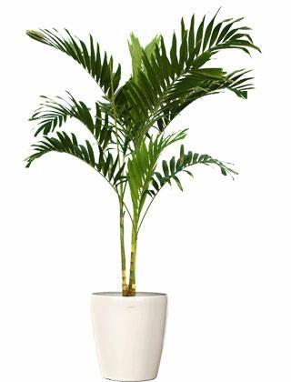 5ft - $70 - Adonidia Palm Tree (Christmas Palm) - Adonidia merrillii - Indoor Mall Plants (Web)