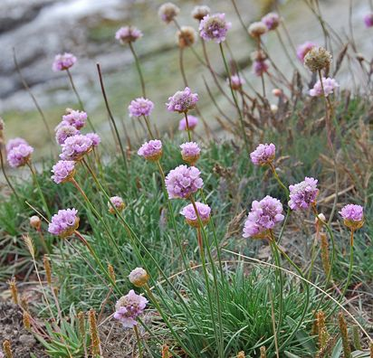Sea thrift - Armeria maritima