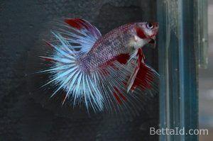 Ikan Cupang Halfmoon Marble HM61. Memiliki kedokan sehat, dasi lurus, tubuh yang proporsional, bersisik mengkilap, dan mental berani. #ikan #ikancupang #halfmoon #bettafish #marble