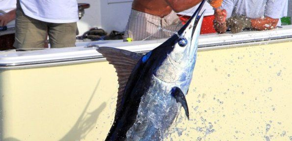 The main aim of Miami charter give a great sport fishing trip. Miami offer a scope of charters based around 30ft & 37ft untouched reefs of the island.Sailfish in Miami. At 64 miles per hour, acrobatic jumps and leaps and the famous tailwalk, these fish are a spectacle to watch.