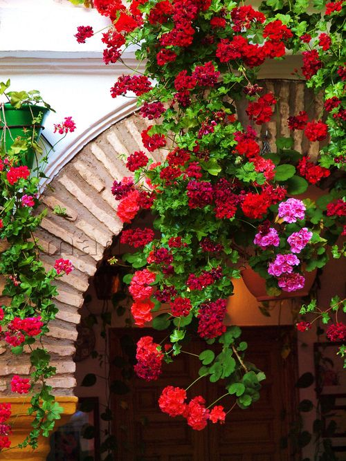 ivy geranium.  very beautiful: Geraniums, Ivy Geranium, Color, Gardening, Gardens, Flower Power, Beautiful Flowers, Garden, Flower